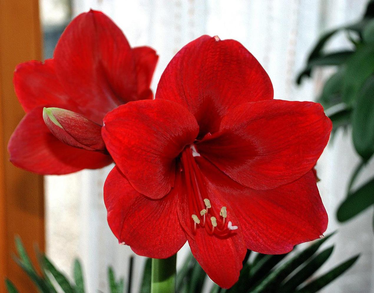 Комнатные цветы фото с названиями цветущие красным